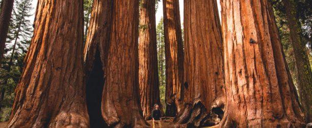 In mezzo alle sequoie californiane